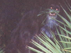 zzz cb skunk ape