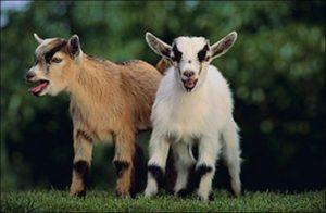 zzz rb goat
