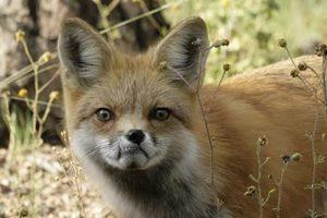 zzz rf fox