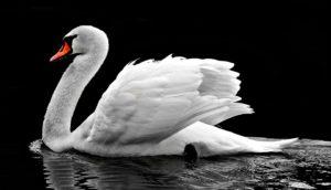 zzz am swan
